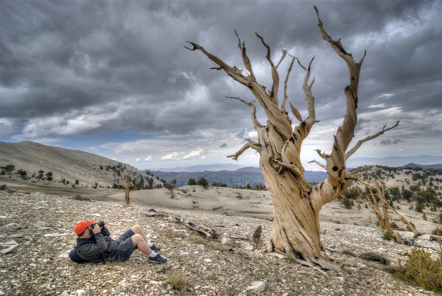 Caleb Weston photographing a bristlecone tree
