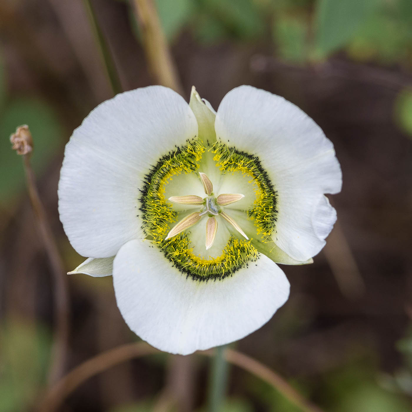 Mariposa Mountain Lily