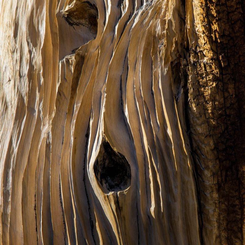 Weather-Etched Bristlecone Trunk, White Mountain
